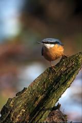 Kleiber / eurasian Nuthatch (uwe125) Tags: bird animal kleiber nuthatch singvogel vogel baum tier wald holz felsen