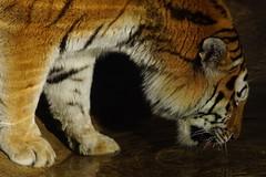 Tg Nbg               Water is life             281228 (Eddy L.) Tags: tiergartennürnberg tiergartenfreundenürnbergev nuremberg tiger samur ☆2662012 amurtiger sibirischertiger pantheratigrisaltaica siberiantiger tigredesibérie amurskiytigr tigresiberiana siberiantijger tigresiberiano predator bigcat water highiso beautifullight teamsony sonyalpha minoltaafhs28300mmg sonyphotographing eddyl2018