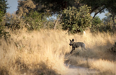 Painted Wolf on the Run _5460 (hkoons) Tags: chobenationalpark dizhanacampsite firstbridge khwairiver southernafrica thirdbridge africa botswana magwee animal animals beast paintedwolf carnivore fur grass grassland landscape mammal outdoors outside panorama shrub trees moremigamereserve