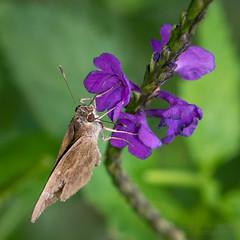 Skipper (jciv) Tags: butterfly flower purpleflower skipper mission texas unitedstates us duranta file:name=dsc07982
