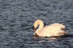 IMG_2486 (LezFoto) Tags: swan mute cygnusolor loirstonloch aberdeen scotland unitedkingdom canoneos700d sigma 700d canon 120400mmf4556dgapooshsm digitalslr dslr canonphotography sigmalens