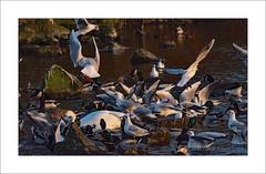The Birds (prendergasttony) Tags: nikon d7200 tonyprendergast wildlife lancashire water flash hitchcock rock legs wings feather flight lake