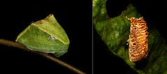 METAMORPHOSIS - Cup Moth (Demonarosa rufotessellata, Limacodidae) (John Horstman (itchydogimages, SINOBUG)) Tags: insect macro china yunnan itchydogimages sinobug entomology cup moth lepidoptera limacodidae caterpillar larva slug collage metamorphosis tank demonarosa rufotessellata demonarosarufotessellata
