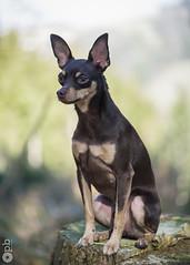 Nestor en forêt (Philippe Bélaz) Tags: nestor pragois ratierdeprague animal animaux animauxdecompagnie assis brun calme chiens chocolat portraitsanimalier