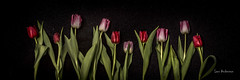 _61A0293 (fotolasse) Tags: blommorstudiontulpaner blommor flowers blad tulpaner sweden sigma 50mm canon studio light visico ttl5