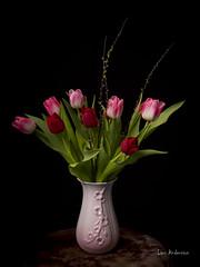 _61A0284 (fotolasse) Tags: blommorstudiontulpaner blommor flowers blad tulpaner sweden sigma 50mm canon studio light visico ttl5