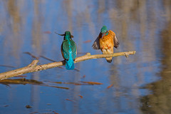 Dinner Date (Artisanart) Tags: kingfisher bird wildlife water suffolk nature male female