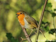 Lovely singing Robin at Pensthorpe on a glorious sunny day in February (nina1688) Tags: