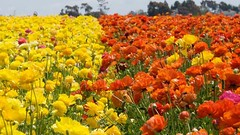 The Ultimate Revelation Of Flower Fields Carlsbad   flower fields carlsbad (franklin_randy) Tags: flower fields carlsbad apartments ca hours coupon entrance fee images now open promo code wedding