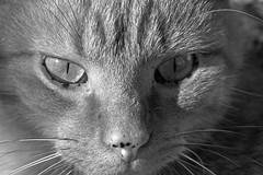 Cat (Tom Tiger) Tags: f004 cat tamron 90mm di vc usd netherlands piel nature f28 28