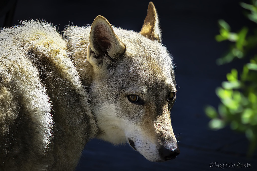 The Worlds Most Recently Posted Photos Of Cane And Wolfdog Flickr