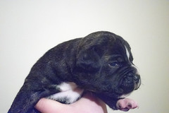 Pup (Alasdaircrawford) Tags: pup puppy pupper staffie staffordshire staffy dog doggo canine english bulldog bull cute young new aww