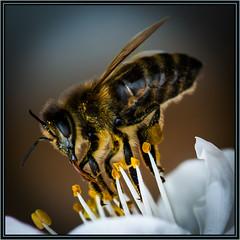Biene mit Saugrüssel (robert.pechmann) Tags: biene insekt macro makro saugrüssel blüte bees honigbiene pechmann robert