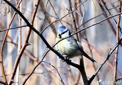 Mésange Bleue (Jean-Daniel David) Tags: oiseau nature faune bokeh forêt bois sousbois branche mésange closeup grosplan suisse suisseromande vaud mésangebleue passereau volatile nikon nikond5600 tamronspaf150600mmf563a022 fiez