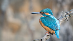 Eurasian kingfisher (JS_71) Tags: nature wildlife nikon photography outdoor bird new spring see natur pose moment outside animal flickr colour poland sunshine beak feather nikkor d500 wildbirds planet global national wing eye watcher 600mm tc 14x