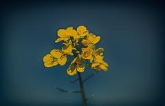Flower (akatsoulis) Tags: marumi microphotography landscape d5300 oxford yellowfields yellowflowers rapeseed flowers