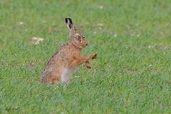 DSC1297  Brown Hare... (Jeff Lack Wildlife&Nature) Tags: hares hare brownhare animal animals mammal wildlife woodlands wildlifephotography jefflackphotography farmland fields crops grasslands heathland hedgerows heathlands heaths moorland meadows moors countryside norfolk nature