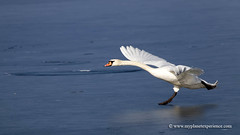 Mute Swan (My Planet Experience) Tags: mute swan cygne cygnus olor anserinae waterfowl bird wild wildlife animal endangered species iucn redlist takeoff inflight nopeople day water ice winter portrait horizontal colourimage myplanetexperience wwwmyplanetexperiencecom