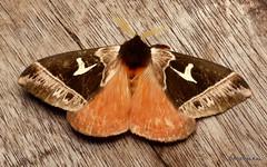 Saturniid Moth, Dirphia napoensis, Saturniidae (Ecuador Megadiverso) Tags: andreaskay ecuador moth saturniidmoth saturniidae wildsumaco dirphianapoensis