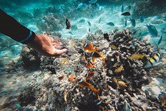 GOPV15182 (waychen_c) Tags: philippines ph visayas centralvisayas bohol provinceofbohol baclayon municipalityofbaclayon pamilacan pamilacanisland boholsea sea seascape coralreef coral fish clownfish tropicalfish cebutour2019 菲律賓 維薩亞斯 維薩亞斯群島 中維薩亞斯 保和 保和省 巴卡容 帕米拉坎 帕米拉坎島 珊瑚礁 珊瑚 熱帶魚 小丑魚 2019宿霧旅行 gopro goprohero7black tomatoclownfish 紅小丑 白條雙鋸魚 保和海
