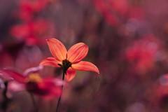 simply red (christophe.laigle) Tags: rouge christophelaigle fleur macro vivid nature flower fuji colours red lumière xpro2 xf60mm light