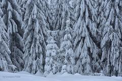 Forest in winter (Grzesiek.) Tags: forest winter las zima śnieg snow choinka spruce