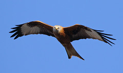 Red Kite (Treflyn) Tags: today red kite over back garden earley reading berkshire uk raptor bird prey wild wildlife