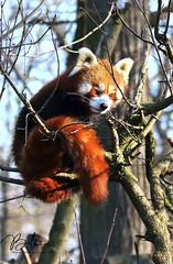 Kleiner Panda (babsbaron ( Bella )) Tags: nature tiere animals canon säugetiere mammals raubtiere predators hundeartige caniden canines katzenbär roterpanda red kleinerpanda panda little