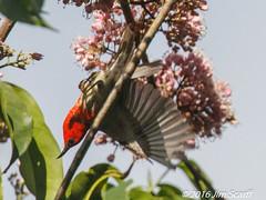 Scarlet Honeyeater (male) (Jim Scarff) Tags: australianbirds honeyeaters passerines scarlethoneyeater male exif:focallength=560mm exif:aperture=ƒ80 camera:model=canoneos7dmarkii camera:make=canon geo:location=chamberswildliferainforestlodge exif:model=canoneos7dmarkii exif:isospeed=1600 exif:lens=ef100400mmf4556lisiiusm14xiii exif:make=canon