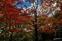 parc du mont Royal (jean-marc losey) Tags: canada québec montréal parc montroyal automne autumn arbre tree randonnée d700 érable