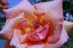 Dedicada... (Zéza Lemos) Tags: rosas rose rosa roseira jardim jardins jardineiro flores flor flowers gotas drops drop algarve água vilamoura portugal