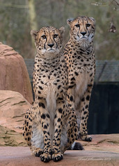 Two Curious (muppet1970) Tags: bottleneckcheetah cheetah curiosity colchesterzoo zoo flickrbigcats cat captive