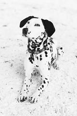 Morgan the Dalmatian (Grant is a Grant) Tags: 2019 50mm d7200 morgan nikon dalmatian dog dogphotography doggo dogs february niftyfifty petphotography winter halifax novascotia canada ca