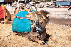 My camel - My Brahim, Atlas Mountains, Morocco (Nature21290) Tags: atlasmountains camelus camelusdromedarius dromedarycamel february2019 lizzy morocco mybrahim