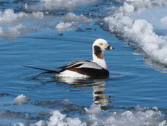 Long-tailed Duck (Clangula hyemalis) (Gavin Edmondstone) Tags: clangulahyemalis longtailedduck male duck brontecreek bronteharbour oakville ontario canada cans2s