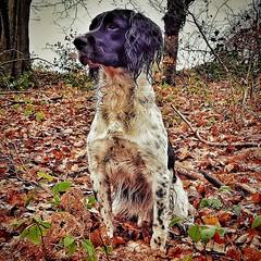 Out on the Shoot. (Fergus the Springer) Tags: gundog englishspringerspaniel springer fergusthespringer ess spaniel pheasantshoot dog dogtraining