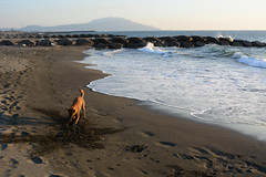 Spade Work 2 (Bob Hawley) Tags: asia taiwan kaohsiung ziguantownship seaside coast taiwantugou formosanmountaindogs pets dogs playing sand nikond7100 nikon28105mmf3545afd sea water beaches digging shoushan mountains waves