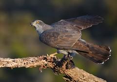 Açor / Northern goshawk (anacm.silva) Tags: açor northerngoshawk ave bird wild wildlife rapina nature natureza naturaleza birds aves espanha spain accipitergentilis coth coth5