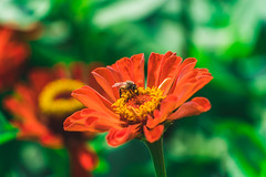 Bee and flower (eHsuan) Tags: 台南 a7iii a73 a7m3 taiwan tainan 台灣 travel 旅行 旅遊 outdoor walk chinese