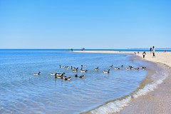 Feeding Geese! (ineedathis, Everyday I get up, it's a great day!) Tags: geese people boy brantgeese birds aquatic avian beach sea northport huntington crabmeadow waves spring nature seashore horizon bluesky pebbles nikond750 seascape