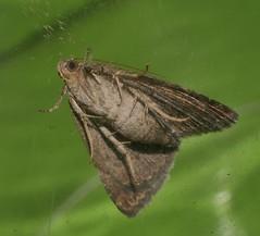One spot Moth Amyna axis  Acontiinae Erebidae Noctuoidea Airlie Beach rainforest P1460923 (Steve & Alison1) Tags: one spot moth amyna axis acontiinae erebidae noctuoidea airlie beach rainforest