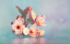 Floating in Pink ;o) (Elisafox22) Tags: elisafox22 sony ilca77m2 100mmf28 macro macrolens telemacro lens hbw bokeh blossom bokehwednesday sunshine japaneseplum pink flowers leaves indoors elisaliddell©2019