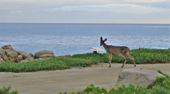 April2Image9785 (Michael T. Morales) Tags: deer ptpinos pacificgrove montereybay nature muledeer