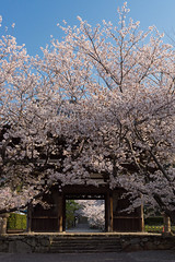 Temple in Spring (k n u l p) Tags: temple sakura spring cherry blossom gate national treasure japan wakayama kainan sony nex7 1670mm 和歌山 海南 長保寺 sel1670z