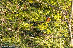 IJsvogel-6894 (lindakvl) Tags: ijsvogel schiedam natuur vogels