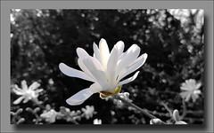 - Magnolia stellata - (Jac Hardyy) Tags: magnolia stellata star flower flowers blossom blossoms bloom blooms petal petals white black light shadow backlight contrejour magnolie sternmagnolie magnolienblüte blüte blüten blütenblätter kronblätter weis schwarz und licht schatten gegenlicht
