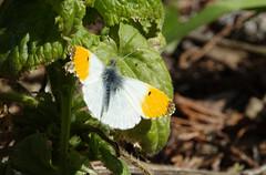 Orange Tip butterfly (hedgehoggarden1) Tags: orangetip butterfly lepidoptera insect creature wildlife sonycybershot nature gooderstonewatergardens norfolk eastanglia uk sony
