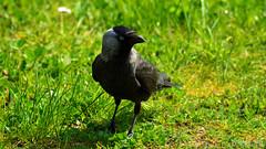 Jackdaw (Szymon Karkowski) Tags: outdoor jackdaw corvus monedula bird grass grassland lawn bokeh nature spring silesian voivodeship gliwice poland nikon d7100