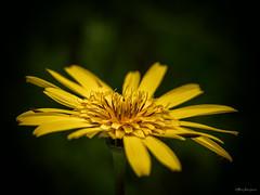 yello... (Meinersmann, Thomas) Tags: breisgau olympus thomasmeinersmann urlaubihringen gelb yello flower garten makro macrozuiko60mm128 macrounlimited