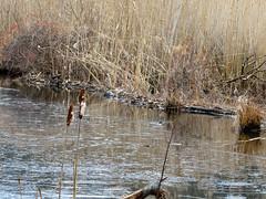 P1030490 (rpealit) Tags: scenery wildlife nature saffin pond mahlon dickerson reservation morris county park jefferson twp beaver dam weldon brook